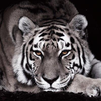 Glaskader tijger (30x30)
