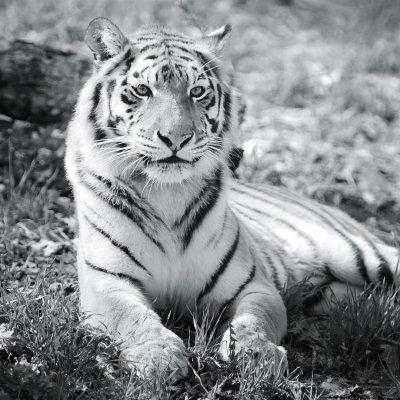 Glaskader tijger (20x20)