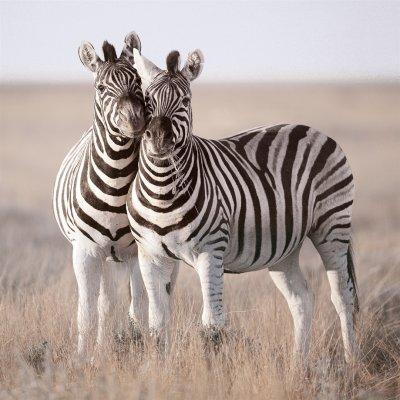 Glaskader zebra's (50x50)
